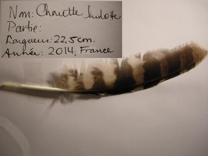 Chouette hulotte Dscn8911