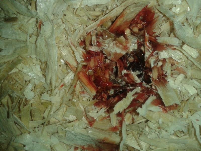 Sang dans les fientes (mis à jour avec photos) 20150617