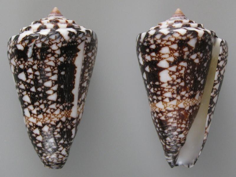 Conus (Leptoconus) locumtenens - Blumenbach, 1791 - Page 2 Img_0317