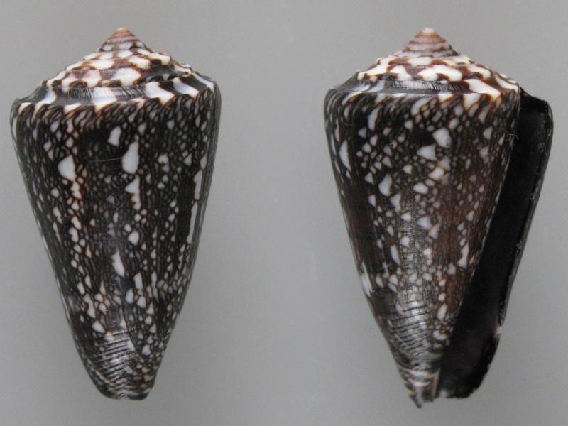 Conus (Leptoconus) locumtenens - Blumenbach, 1791 - Page 2 Img_0411