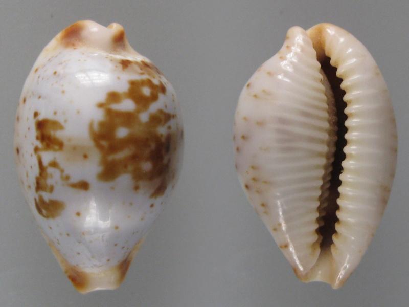 Bistolida erythraeensis - (G. B. Sowerby I, 1837) Img_0610