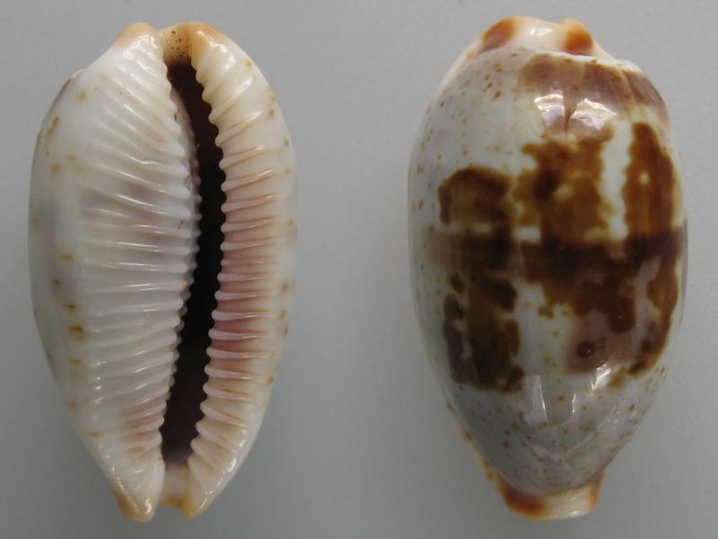 Bistolida erythraeensis - (G. B. Sowerby I, 1837) Img_7610