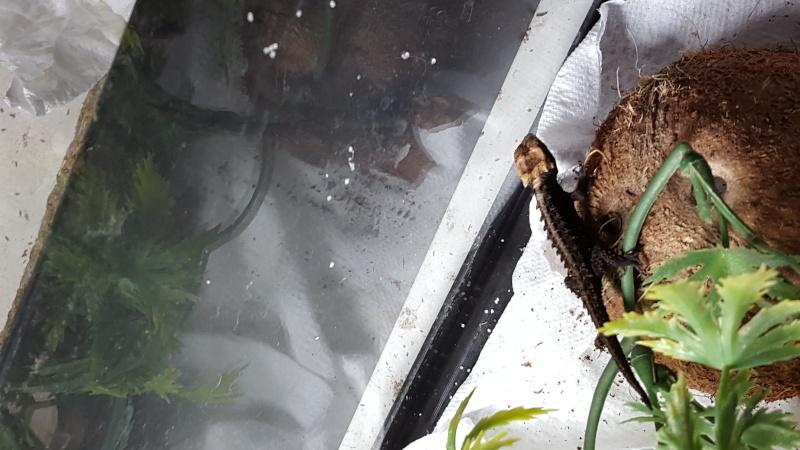 naissance tribolonotus gracilis 20150810