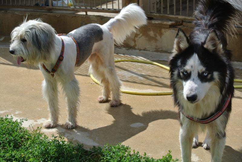 Laurel et hardy  Husky sibérien poil long, ok congénères pas de chats(m) ASSO ROUMANIE    - Page 2 Dsc_5314