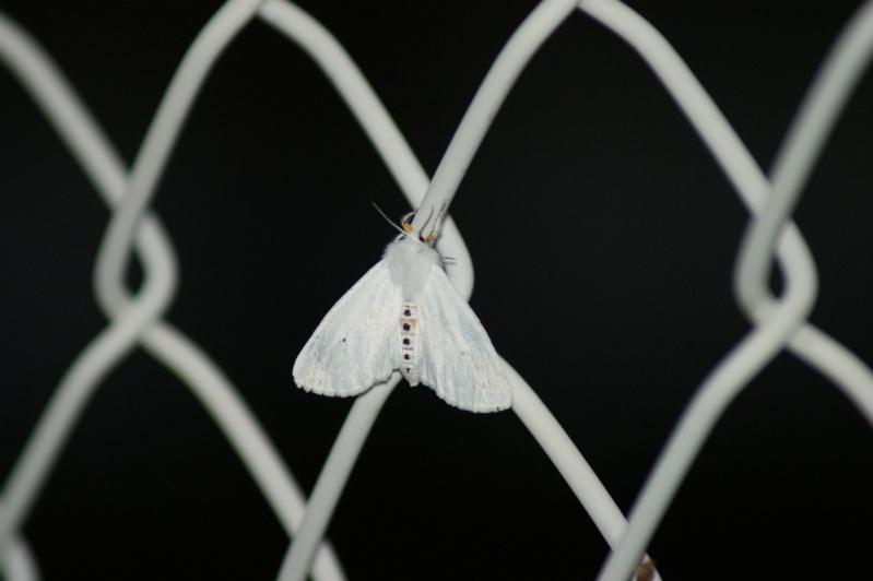 Papillon de..nuit Longue10
