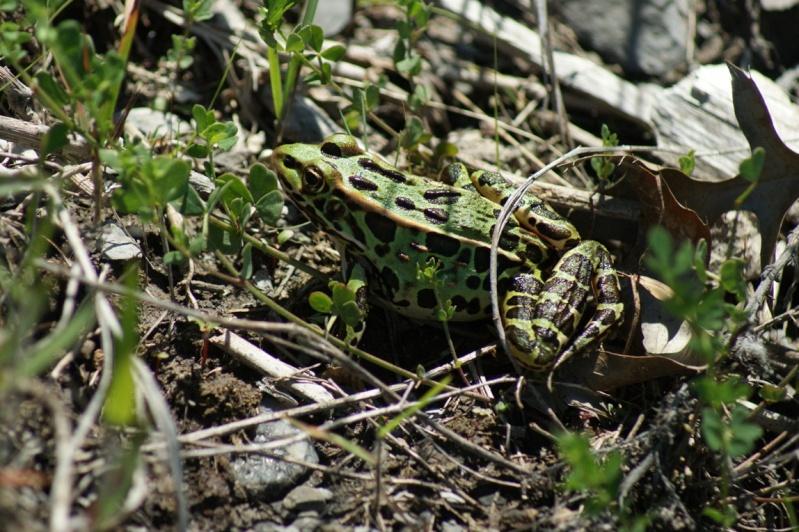 Grenouille léopard Longue18