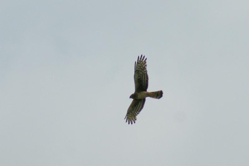 Oiseau de proies... Longue24