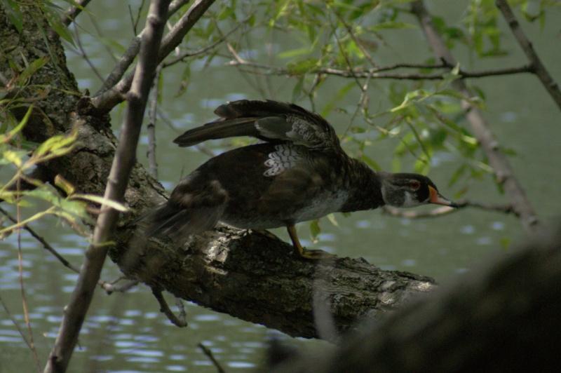 Canard branchu mâle... Longue28
