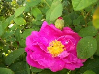 Rose Provins de chez Poron ! Photo116