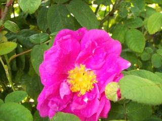 Rose Provins de chez Poron ! - Page 2 Photo117