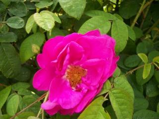 Rose Provins de chez Poron ! - Page 2 Photo188
