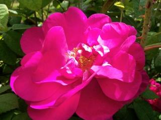 Rose Provins de chez Poron ! - Page 2 Photo189