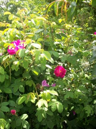 Rose Provins de chez Poron ! - Page 2 Photo190
