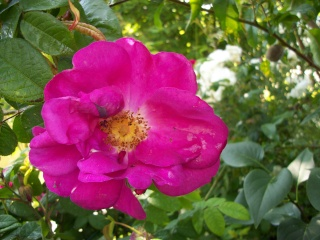 Rose Provins de chez Poron ! - Page 2 Photo191