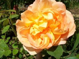 rosa 'lady of shalott' - Page 3 Photo209