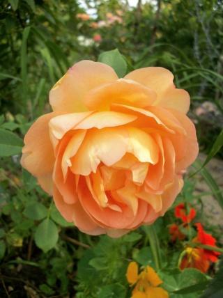 rosa 'lady of shalott' - Page 3 Photo279