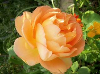 rosa 'lady of shalott' - Page 3 Photo280
