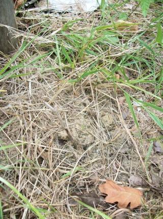 Saule crevette. Photo292