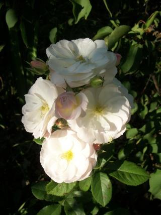 Rosa 'Bouquet Parfait' !!! - Page 6 Photo395