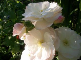 Rosa 'Bouquet Parfait' !!! - Page 6 Photo396