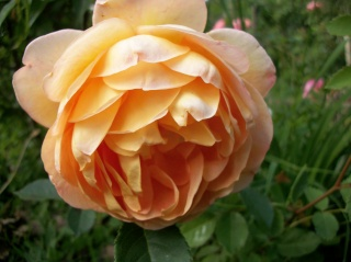 rosa 'lady of shalott' - Page 2 Photo_97