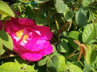Rose Provins de chez Poron ! Photo_99