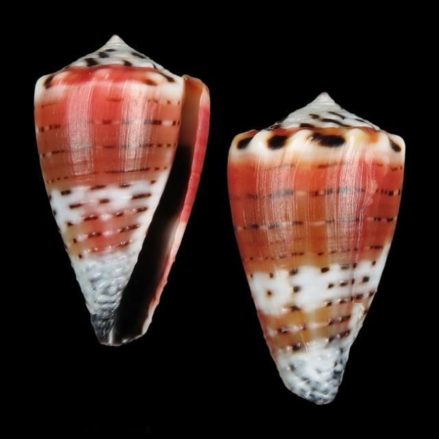 Conus (Harmoniconus) musicus  Hwass in Bruguière, 1792 12091316