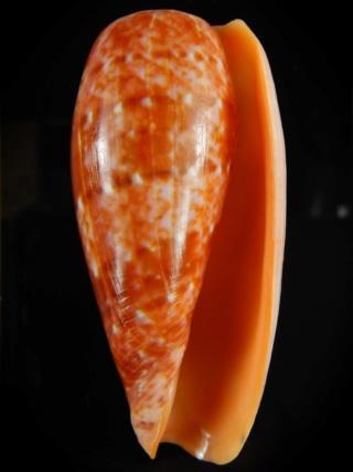 Conus (Textilia) bullatus   Linnaeus, 1758 - Page 3 Dscn4314