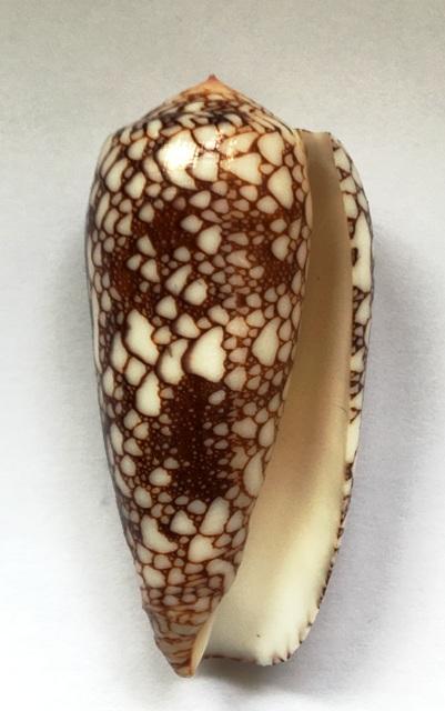 Conus (Darioconus) omaria      Hwass in Bruguière, 1792 - Page 4 Img_1023