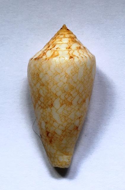 Conus (Cylinder) nodulosus (Sowerby II, 1866)  Img_1025