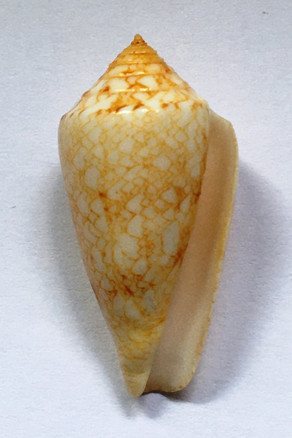 Conus (Cylinder) nodulosus (Sowerby II, 1866)  Img_1026