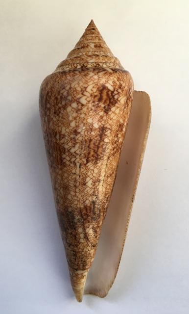 Conus (Cylinder) gloriamaris   Chemnitz, 1777 - Page 6 Img_1111