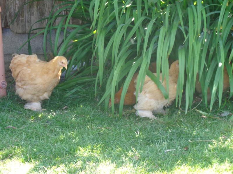 Mes ptites poussines et ptits lapins Dsc01416