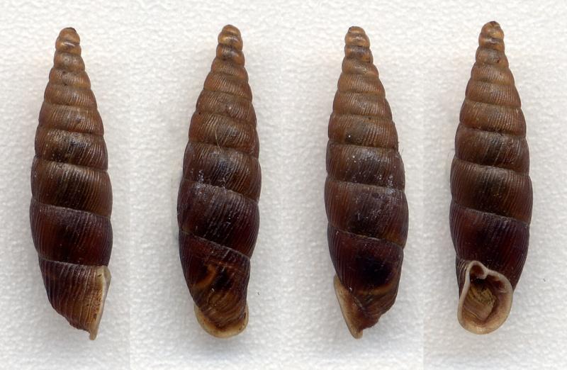 Macrogastra rolphii (Turton, 1826) Macrog10