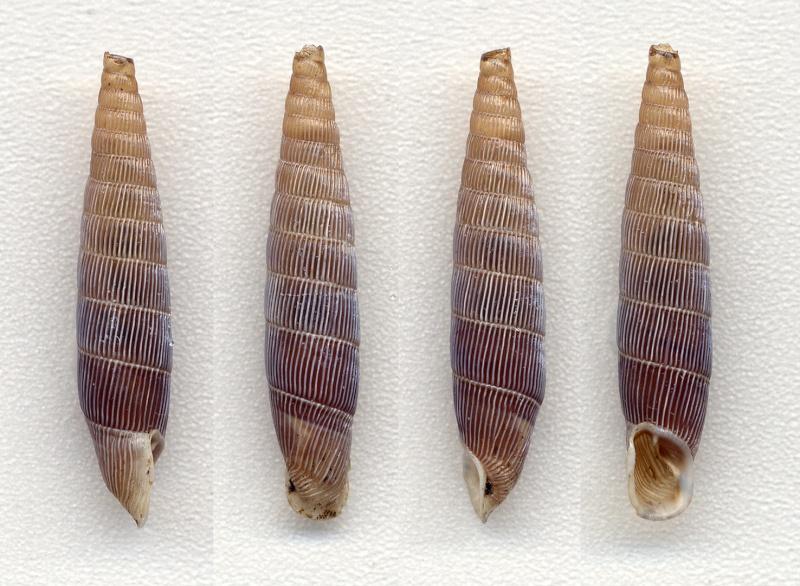 Siciliaria (Mauritanica) tristami tristami (Pfeiffer, 1861) S_m_tr13