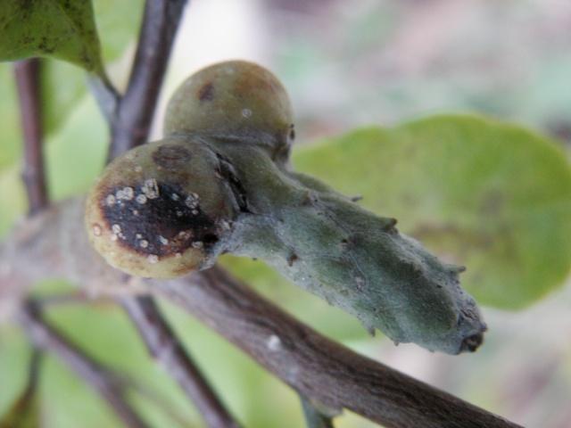 Magnolia stellata  Fruit_11