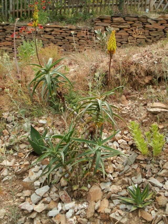 Aloe striatula Pict5612