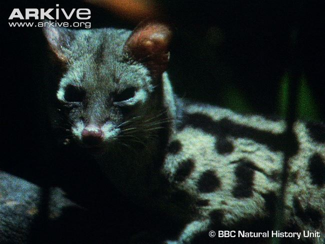 Linsang africano VS Quoll do Norte  Africa10