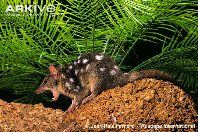 Linsang africano VS Quoll do Norte  Quoll10