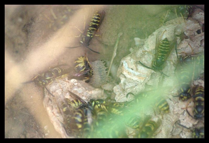 1ers nids pillés par la Bondrée _igp9410