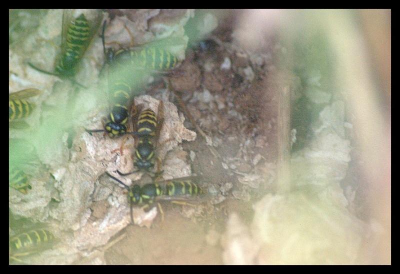 1ers nids pillés par la Bondrée _igp9411