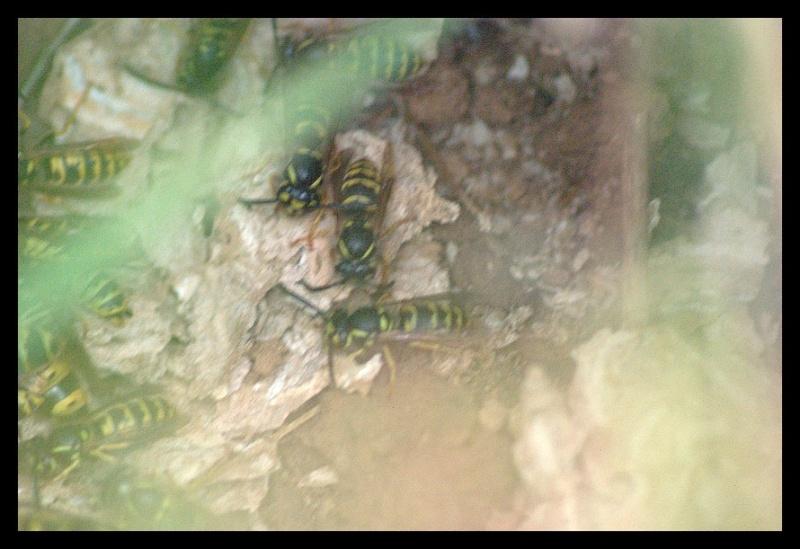 1ers nids pillés par la Bondrée _igp9412