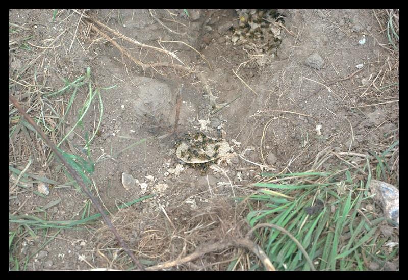 1ers nids pillés par la Bondrée _igp9810