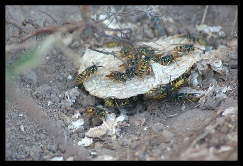 1ers nids pillés par la Bondrée _igp9814