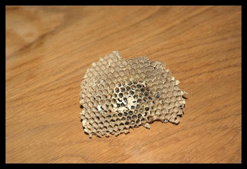 1ers nids pillés par la Bondrée _igp9815