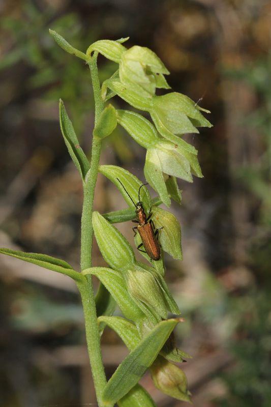 Epipactis phyllanthes (Epipactis à fleurs pendantes ) Epipac15