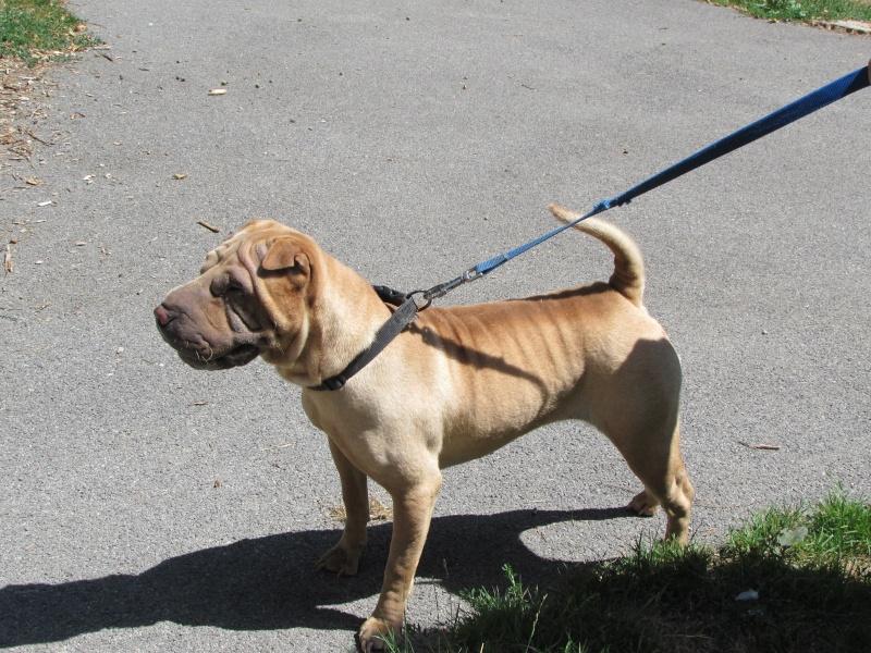 MIA chienne SHARPEI 01117