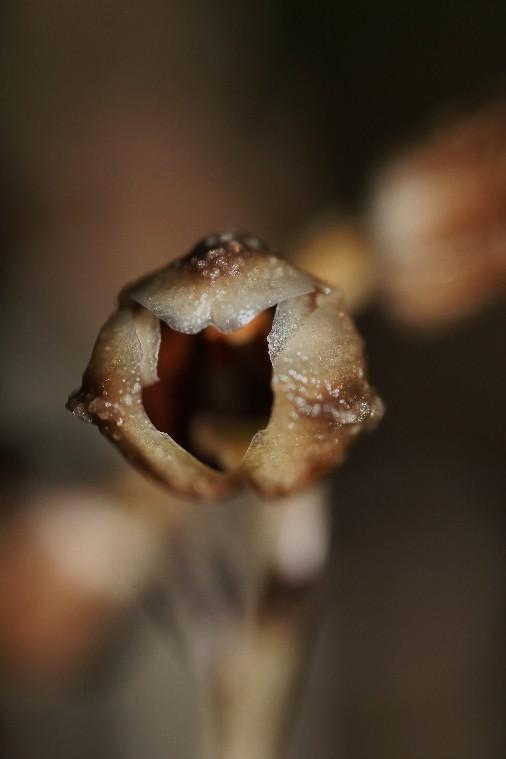 gastrodia similis: détail de la fleur 043110