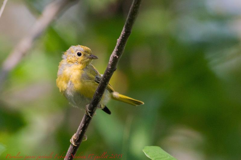 Bébés parulines jaunes Img_5311
