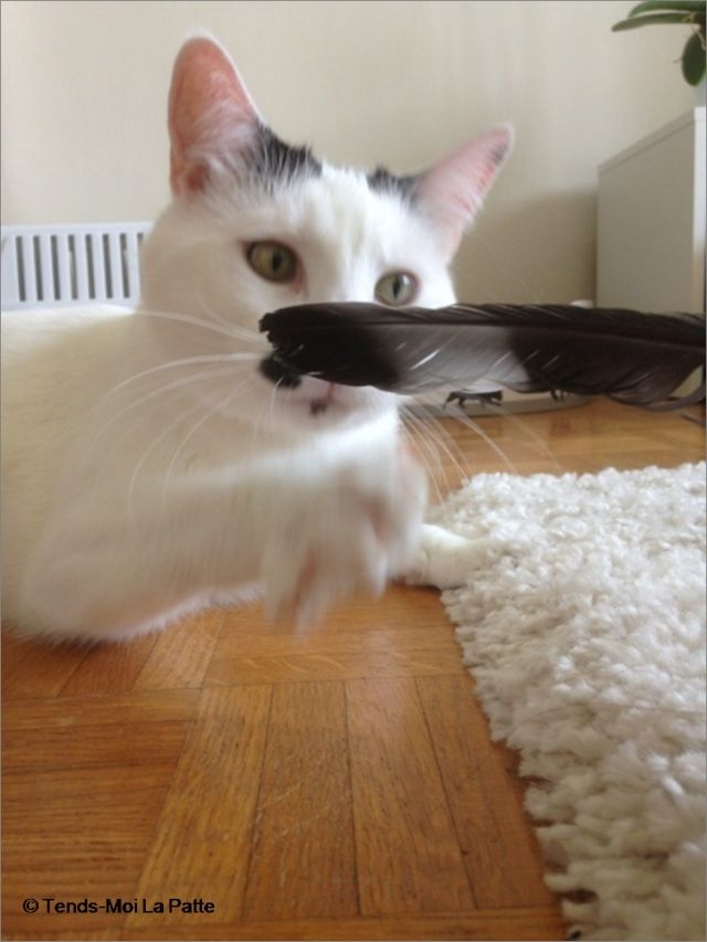 CHAT A ADOPTER : HALLY - chat mâle de 5 ans Hally210